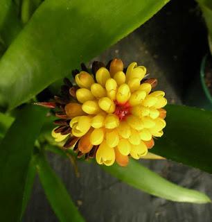 Aechmea calyculata flor amarilla
