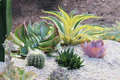 Jenis tanaman agave untuk taman kering