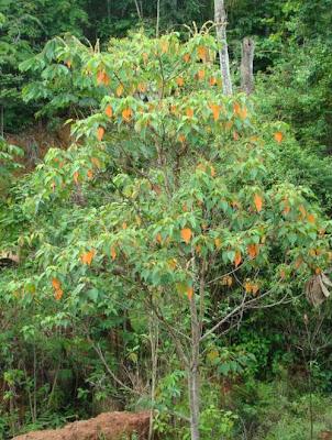Sangre de drago Croton urucurana