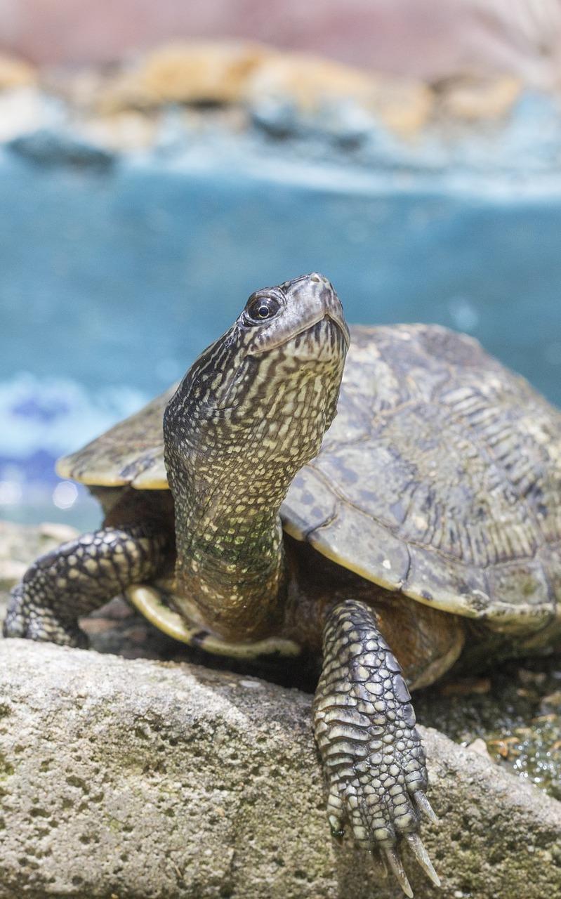 A turtle on a rock.