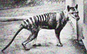 animali perduti tilacino tigre tasmania