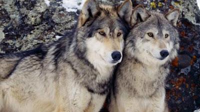 Φόβος και τρόμος από τους λύκους