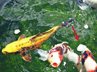 Jenis Ikan Koi Goromo