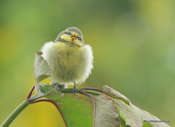 Blue Tit Fledgling - Photo copyright Pat Adams North Devon Focus