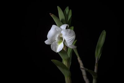 Dendrobium schuetzei care and culture