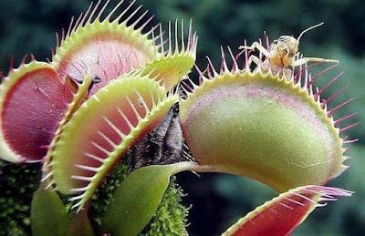 Venus dan Sundew: Tumbuhan Penangkap Serangga