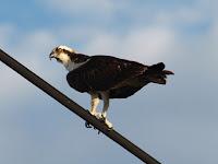 Osprey o águila pescadora