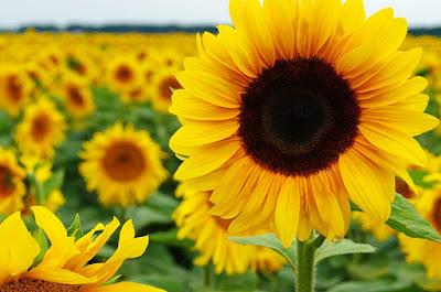 10 Khasiat Ramuan Bunga Matahari Untuk Kesehatan