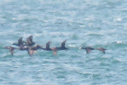 Surf Scoter, Selsey Bill