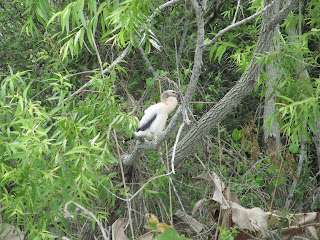 Baby Anhinga in the Everglades