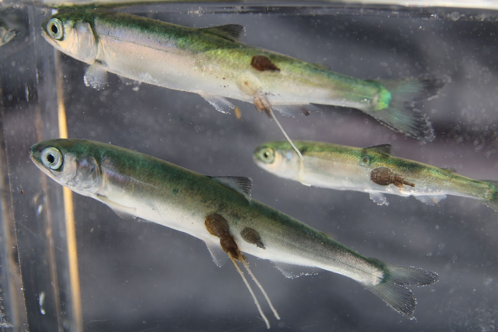 CHANS Lab Views: Do wild salmon subsidize the aquaculture