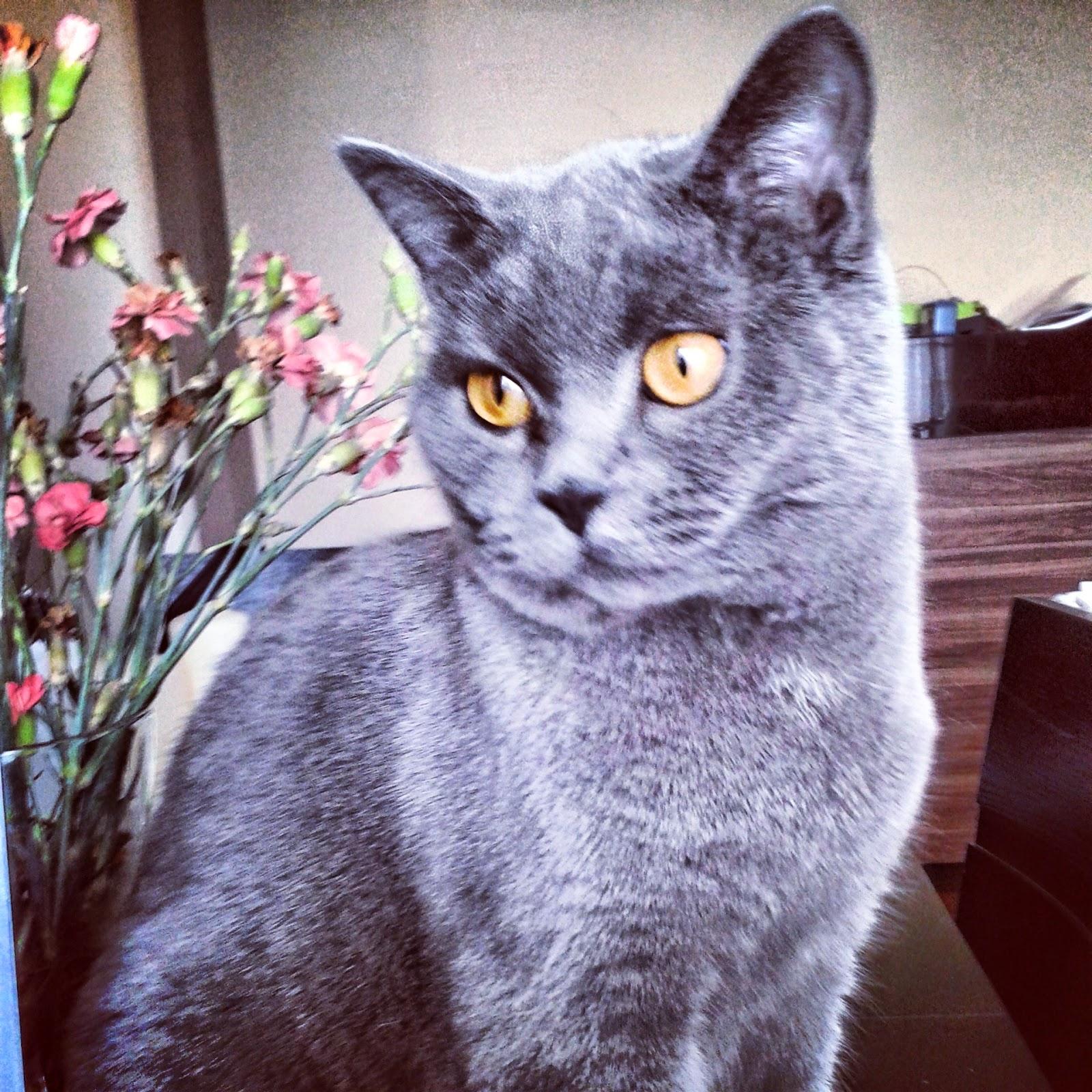 Czesław kot brytyjski