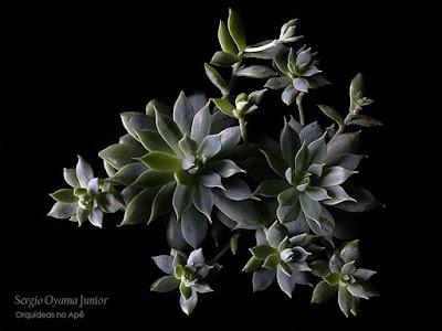 Suculenta Graptopetalum macdougallii