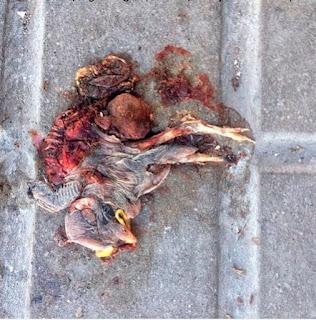 Un gorrión que encontré cuando fuí a tomar  fotos de un limonero que acababa de ser  desmochado. Encontré dos pajaritos más junto  a él. Estos cortes causan grandes daños al  árbol, no permiten que las aves puedan hacer  sus nidos y deja sin alimento a muchos seres  insectos que se alimentan de sus flores.