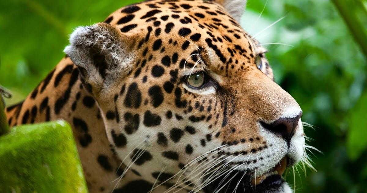 Fondo De Pantalla De Leopardo Fondos De Pantalla Gratis: Fondo De Pantalla Animales Leopardo