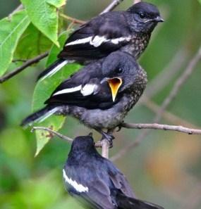 Cara Ternak Burung Kacer Yang Baik Dan Bagus