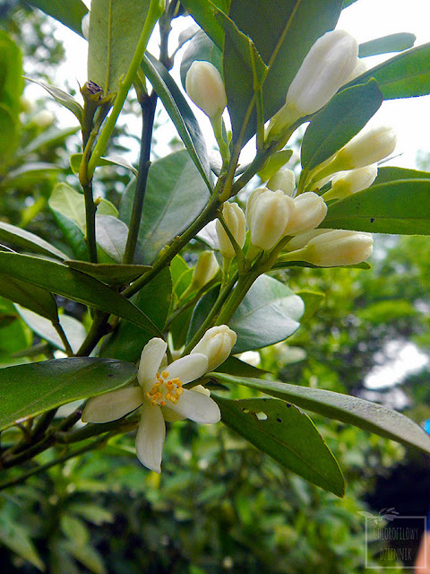 Kumkwat (Citrus japonica/Fortunella japonica) - opis i uprawa kumkwata. Skąd pochodzi, nazewnictwo, historia, odkrycie, uprawa, opis, hodowla w domu, jak wysiać i dbać o kumkwata. Rozmnażanie, podlewanie, jaka ziemia.
