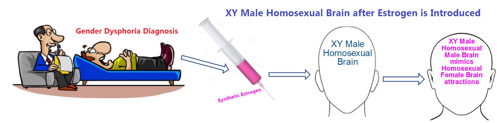 Transvestite estrogen brain changes — img 14