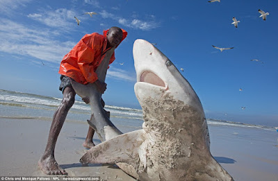 "Fishermen Risks Their Lives Trying To Drag A ""Stubborn"" Shark Back Into The Sea.. Photos"