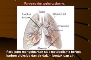 Paru-paru pada manusia