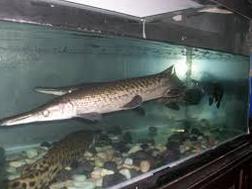 Jenis Ikan Hias Air Tawar Spatula
