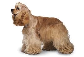 Anjing Ras Cocker Spaniel Amerika