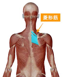 菱形筋解剖図