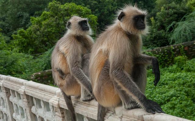 Monos en lugares turísticos de la India