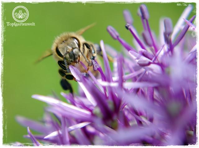 Gartenblog und Foodblog Topfgartenwelt Buchtipp Kreative Naturfotografie: Fotomotive in der Natur entdecken - Biene auf Zierlauch