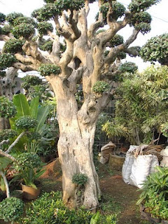 http://2.bp.blogspot.com/-agNhMZtohyQ/T3Qfbeg81DI/AAAAAAAAASE/73NVlYnRrSA/s1600/pohon_serut.jpg
