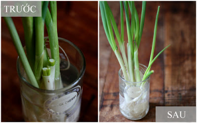 How to grow fresh green onions ah home
