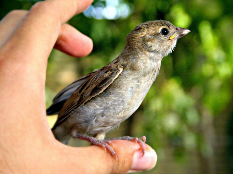 Download Person Holding Hedge Sparrow HD wallpaper. Click Visit page Button for More Images.