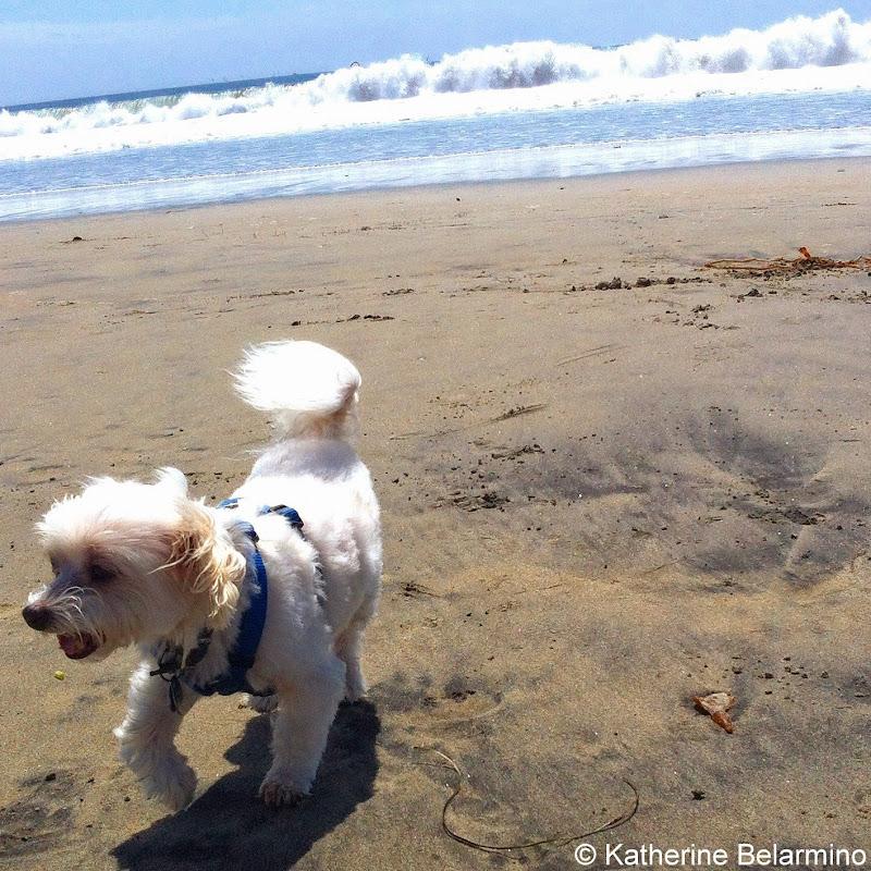 Charlie at Coronado Dog Beach