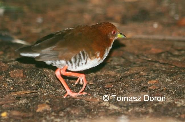 Red and white Crake