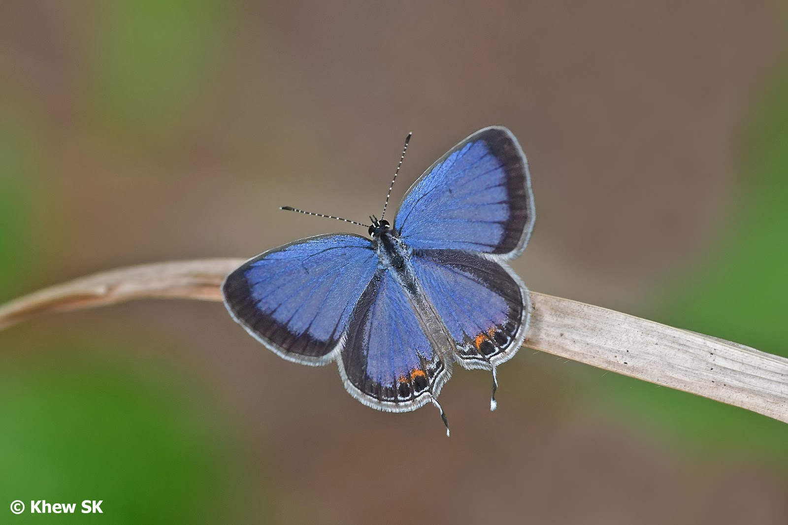 Butterflies of Singapore: Butterfly of the Month - August 2019