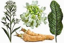 hreanul planta medicinala
