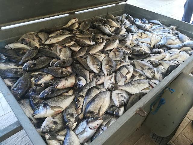 Σχεδόν μισό τόνο τσιπούρες έκλεψαν επιτήδειοι από μονάδα ιχθυοκαλλιέργειας στην Αργολίδα