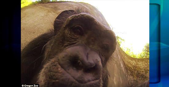 Incrível - chimpanzé filma sozinha seu dia-a-dia no zoológico