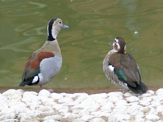 Sarcelle à collier - Canard à collier noir - Callonetta leucophrys