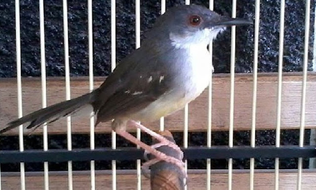 mabung merupakan pergantian bulu usang dengan bulu yang gres Cara Merawat Burung Ciblek Mabung