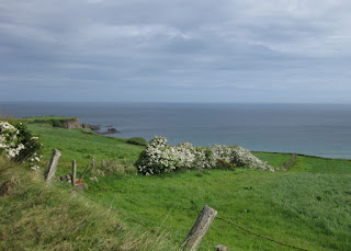 Hawthorne bushes blooming along the coast, Giant's Causeway Coastal Route, Northern Ireland