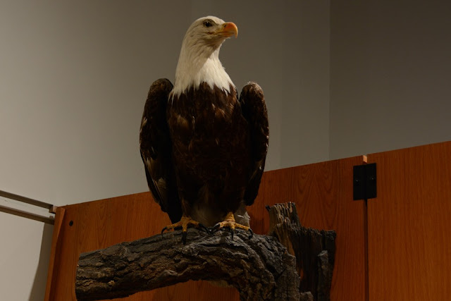 Museum of the North Fairbanks eagle