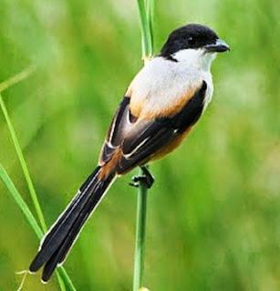 5 Cara Cepat Supaya Burung Cendet Yang Masih Liar Mau Makan Voer Terlengkap