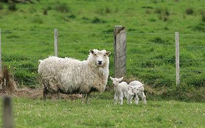Kenapa harga bibit domba kurban mahal
