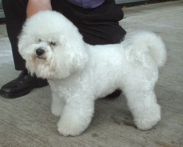 How To Groom My Dog How To Groom A Bichon Frise Grooming For