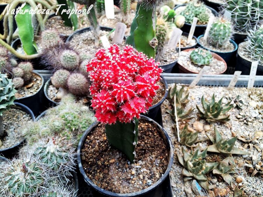 Injerto de cactus carente de clorofila