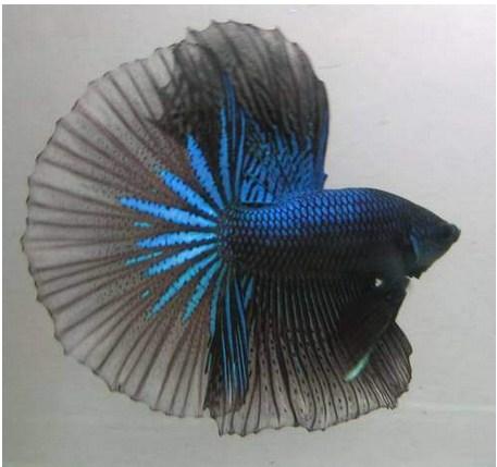 Ikan Cupang Hiasan