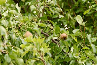 poorly pears