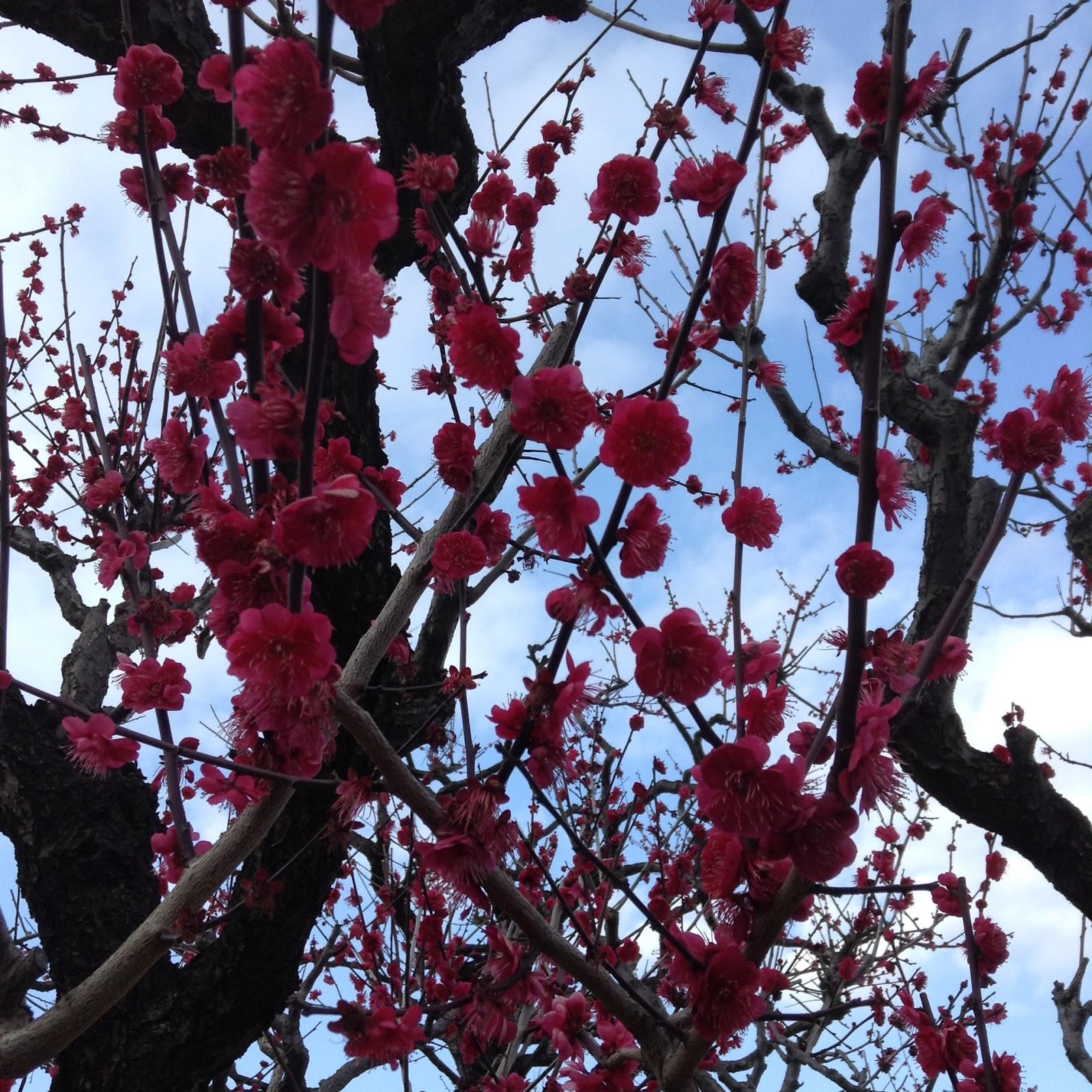 Osaka Castle Plum Blossom