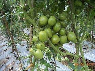 Tomat-Natama-super-f1-di-Parakan-Temanggung